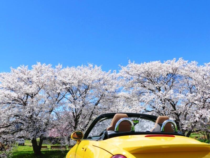 桜とオープンカー